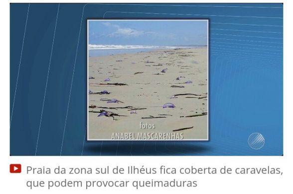 ILHÉUS: Trecho da Praia dos Milionários ficou coberto de caravelas 1
