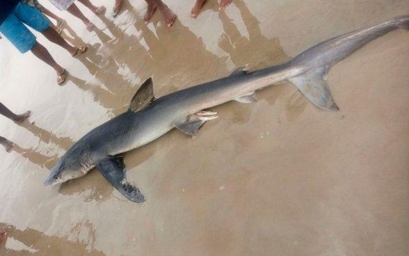 Tubarão é encontrado morto em praia de Ilhéus 1