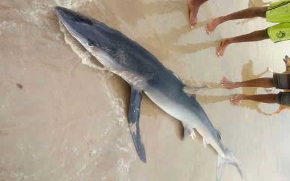Tubarão é encontrado morto em praia de Ilhéus 2