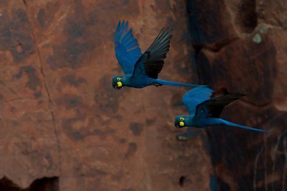 Quase 1700 araras-azuis-de-lear habitam na Bahia 1