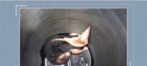 ITABUNA: Tamanduá-mirim é encontrado no telhado de uma casa 1