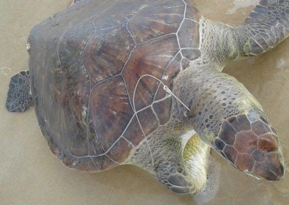 Mais de 35 tartarugas foram achadas mortas no sul da Bahia este ano; ação do homem é maior causadora de óbitos, diz ONG 1