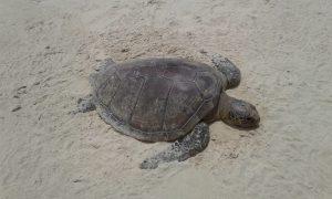 Número de tartarugas mortas chega a 68 no estado 7
