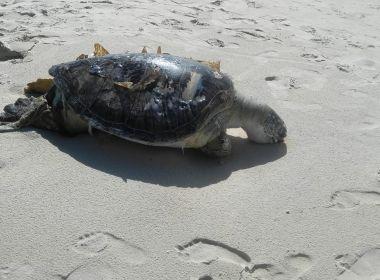 Tartaruga é encontrada morta após se prender em rede de pesca em praia de Ilhéus 1