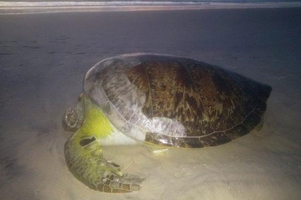 ILHÉUS: Tartaruga de espécie considerada ameaçada é achada morta em praia 1