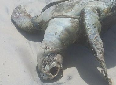 ILHÉUS: Tartaruga é achada morta em praia após encalhe em rede de pesca de camarão 1