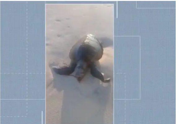 Tartaruga é encontrada morta em praia de Ilhéus 1