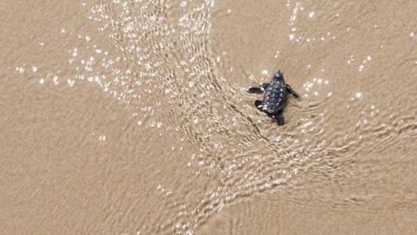 Começou a temporada das tartarugas no Txai Resorts 1
