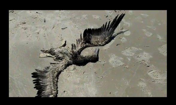 Ave da espécie 'Atobá-Marrom' é encontrada morta em praia de Ilhéus 4