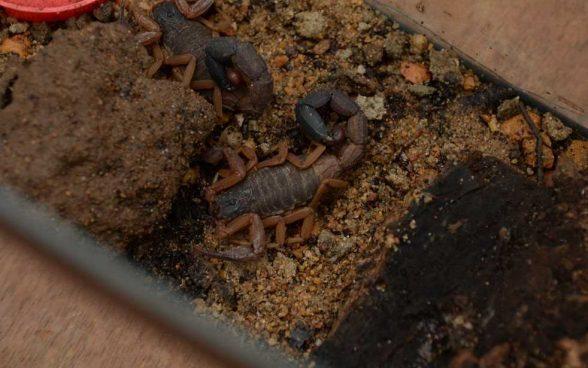 ILHÉUS: CCZ alerta sobre cuidados para evitar acidentes com escorpiões 5