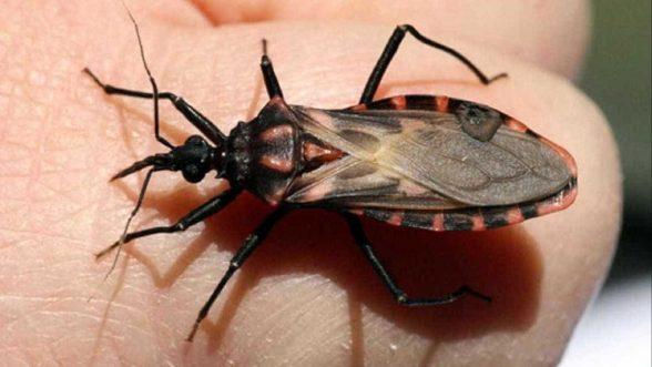 Análise genética do 'barbeiro' pode levar a novos modos de prevenção da doença de Chagas 1