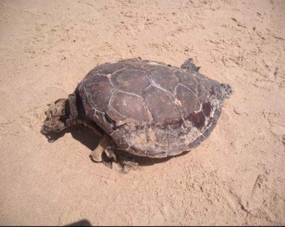 Mais uma tartaruga é encontrada morta em Ilhéus 1