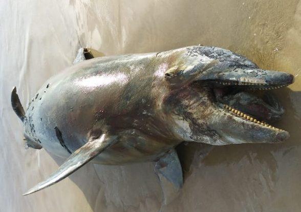 Golfinho e tartarugas são encontrados mortos em praias de Ilhéus 7