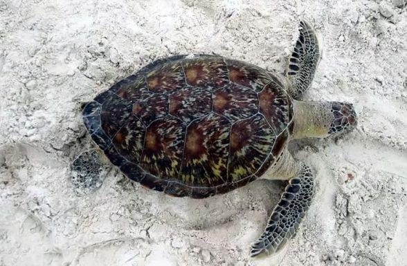 Tartaruga é encontrada morta em praia da cidade de Ilhéus; é o 7º caso em 2020, diz dados 1