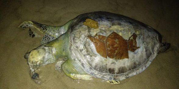 Golfinho e tartarugas são encontrados mortos em praias de Ilhéus 2